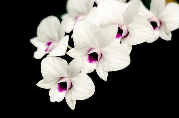 Beautiful white orchid (phalaenopsis) on black