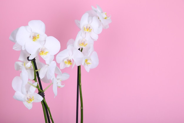 Beautiful white orchid on a pink background