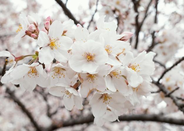 Beautiful white peach tree blossom