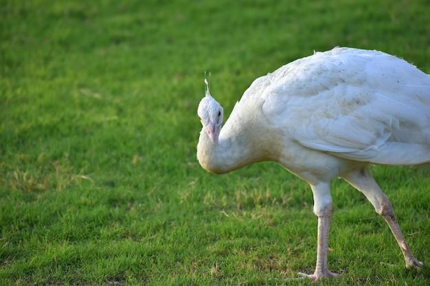 美しい白孔雀がクローズアップ