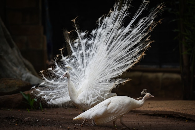Beautiful white peacock opened shows tail