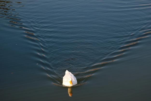 Красивая белая утка по-пекински свободно плавает в пруду