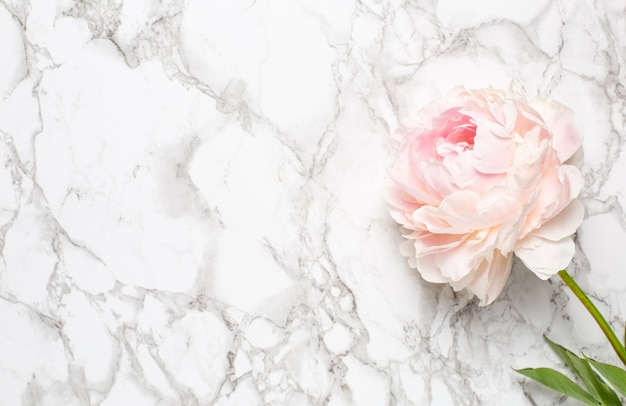Beautiful white peony flower on marble surface with copy space