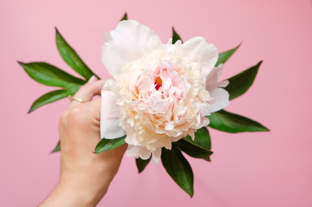 Beautiful white peony flower in women hand close-up on pink