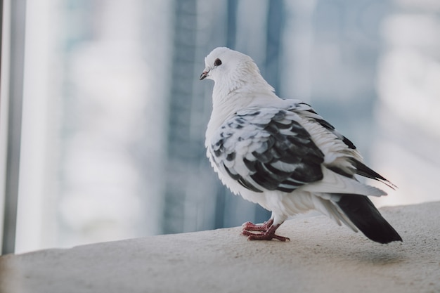 Beautiful white pigeon on the balcony