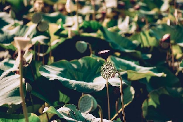 Beautiful white pink lotus flower blooms in the pond lotus lake russia