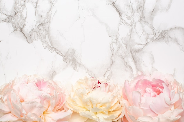 Beautiful white and pink peony flower on marble surface with copy space
