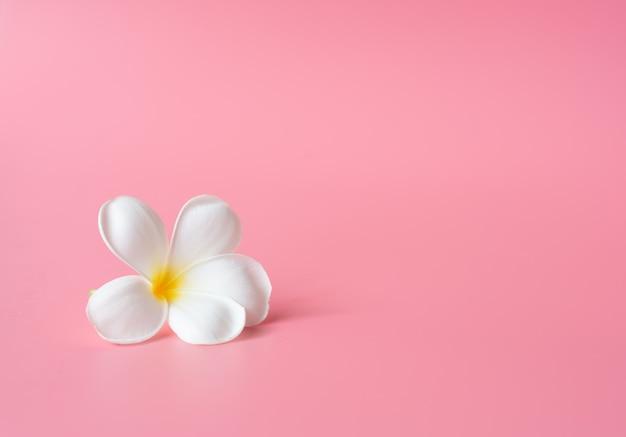 Beautiful white plumeria flower on pink