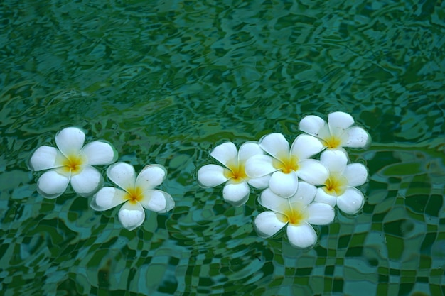 Beautiful white plumeria flowers floating in the water on a green background