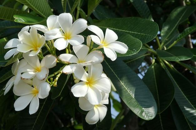 庭の美しい白いプルメリアの花