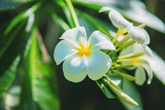 木の上の美しい白いプルメリアの花。セレクティブフォーカス。自然。