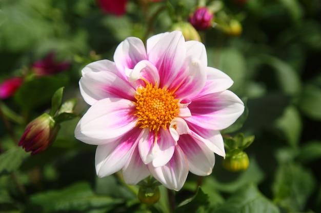 아름 다운 하얀 보라색 꽃 중앙에 노란 꽃잎이