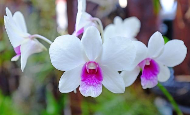 Красивый бело-фиолетовый цветок орхидеи в саду