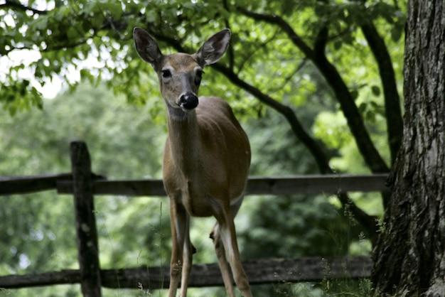 ペンシルベニア州で捕獲されたジャングルの真ん中にある美しい白いレール鹿
