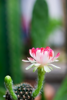 Beautiful  white and red color of lobivia cactus flower in cactus garden.