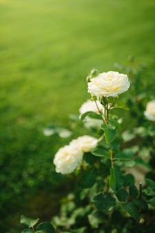일몰 정원에서 부시에 피는 아름다운 흰 장미 꽃