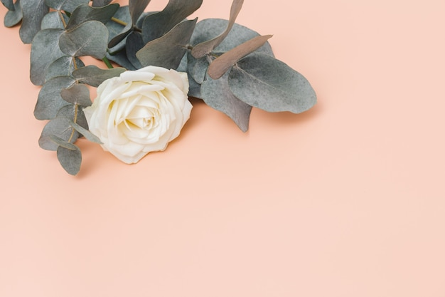 파스텔 핑크 배경에 유칼립투스 가지가 있는 아름다운 흰색 장미 꽃