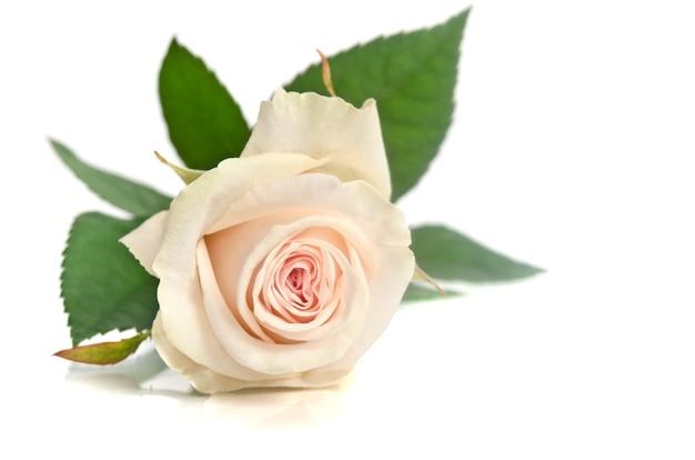 Beautiful white rose isolated on white