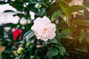 Красивая белая роза на растении