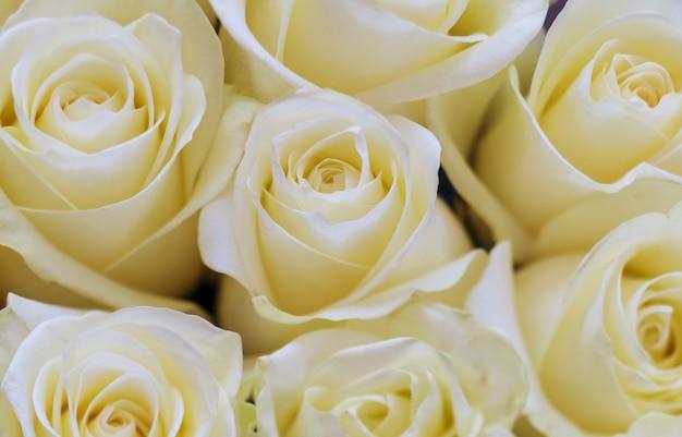 美しい白いバラの背景