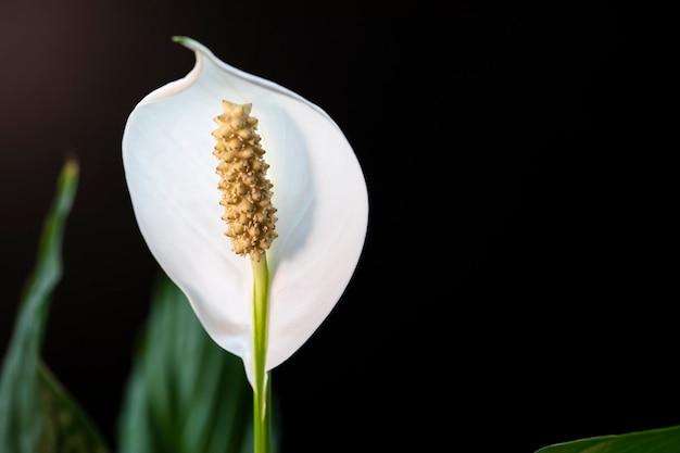 美しい白いスパティフィラムの花がクローズアップで咲きます。