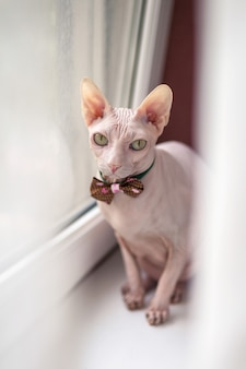 Beautiful white sphinx cat sitting on a white window