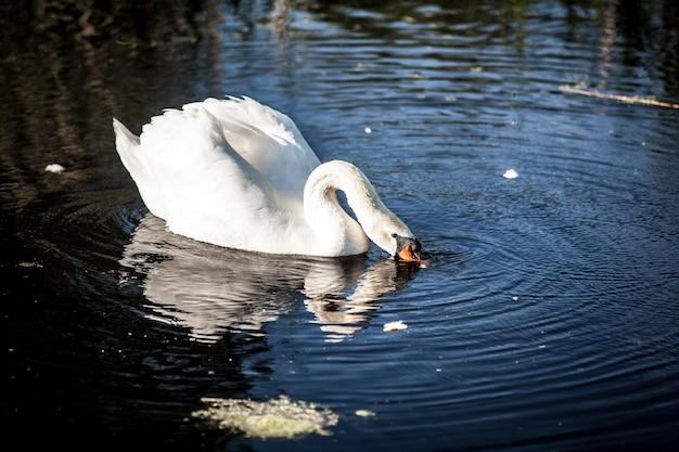 Beautiful white swan on lake drinking water