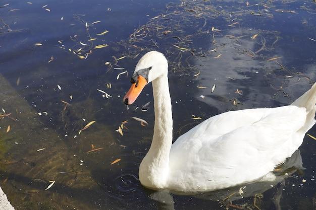 Красивый самец белого лебедя плавает в озере