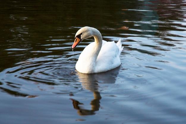 透き通った深い青色の川の反射の美しい白い白鳥