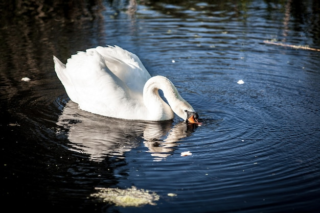 湖の飲料水に美しい白鳥