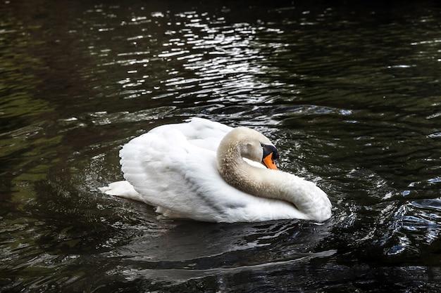 ベルギー、ブルージュ市の池の美しい白い白鳥
