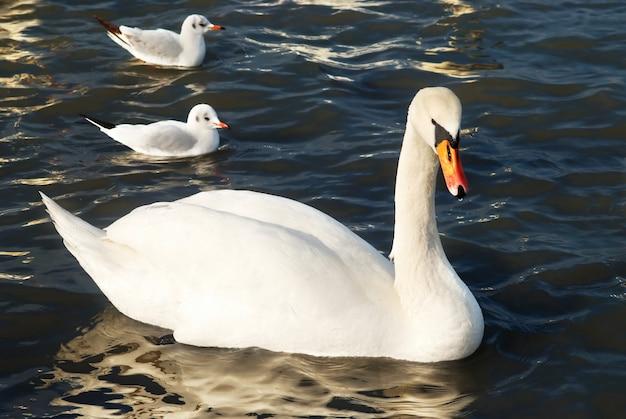 Красивый белый лебедь на воде.