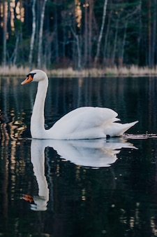 Beautiful white swan in the pond