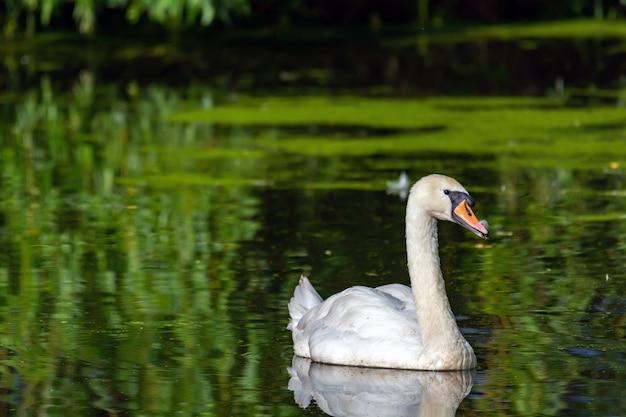 美しい白い白鳥が池で泳ぐ