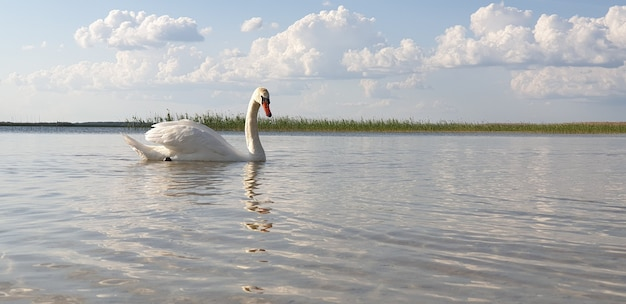 Beautiful white swan walks through the shallow water of a clean fresh lake and drinks water against a beautiful horizon with deciduous forest on a sunny warm summer day. place for advertising