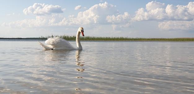 美しい白い白鳥がきれいな新鮮な湖の浅瀬を歩き、晴れた暖かい夏の日に落葉樹林のある美しい地平線に向かって水を飲みます。広告の場所