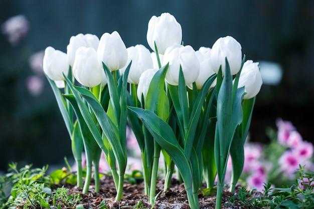 Beautiful white tulips flower in nature garden