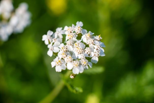 Красивый белый полевой цветок на зеленом фоне. фото высокого качества
