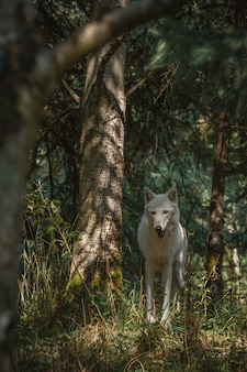 Красивый белый волк в лесу