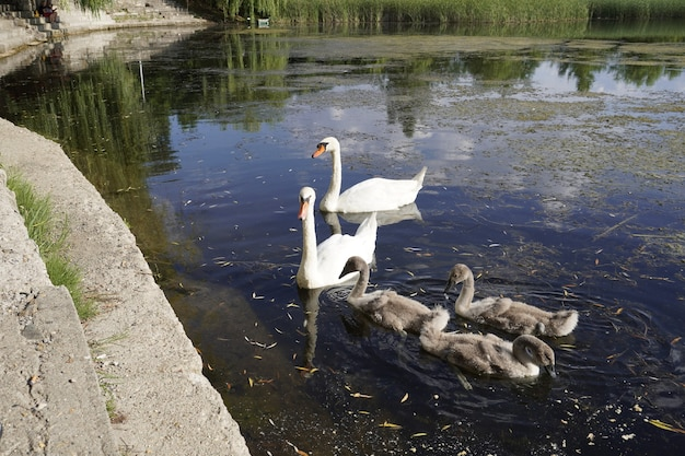 자연 호수에 아름다운 하얀 백조 가족