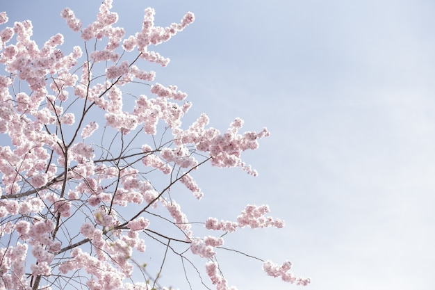 맑은 하늘 아래 핑크 사쿠라 꽃이나 벚꽃의 아름다운 넓은 샷