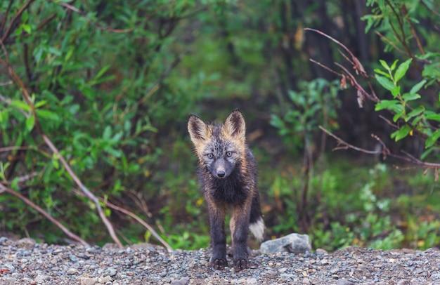フォアサーの美しい野生動物。アラスカのホッキョクギツネ。