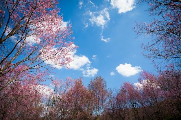 Beautiful wild cherry himalayas thailand