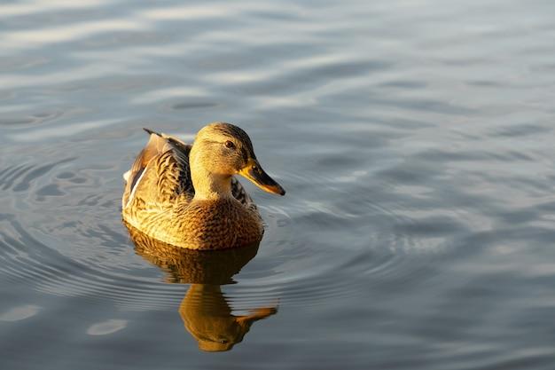 美しい野生のアヒルは日没時に湖で泳ぐ