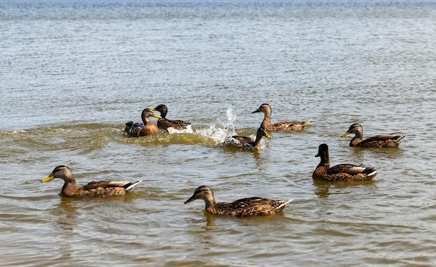 Красивые дикие утки в природе, дикая природа с летающими и водоплавающими птицами, дикие утки весной или летом на природе