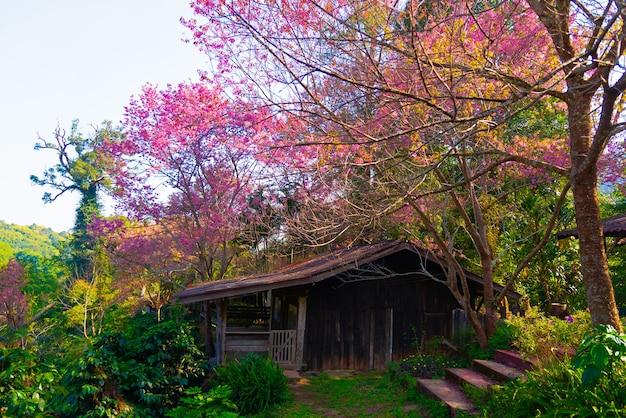 美しい野生のヒマラヤザクラはピンクの花を咲かせ、冬の花のフェスに咲きます