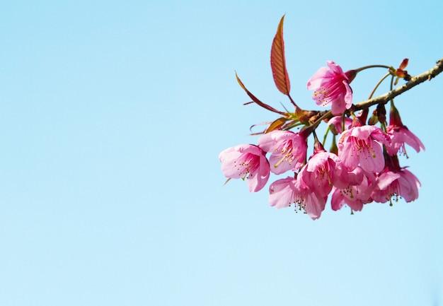 햇빛 푸른 하늘 배경으로 아름 다운 야생 히말라야 벚꽃 꽃 (벚나무 cerasoides)