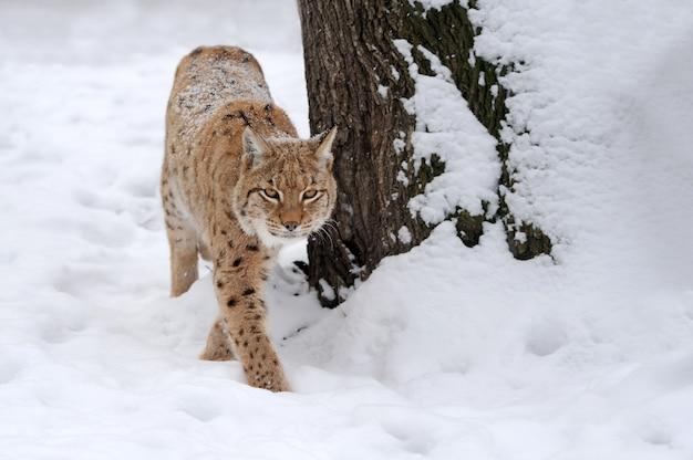 Красивая дикая рысь в зимнее время