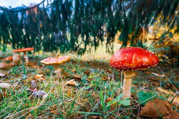 Красивый дикий гриб мухомор на зеленом лугу в густом разноцветном лесу в карпатах осенью