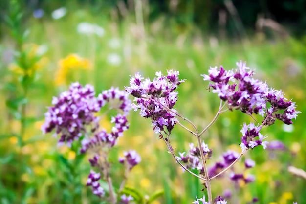 夏の草原の美しい野生のオレガノの花